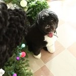 Bo Obama Approves the White House Xmas Decorations: VIDEO