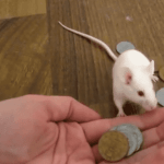 Mouse Frets About Fiscal Cliff As Owner Charges For Treats: VIDEO