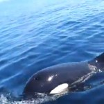 Pod of Orcas Eyes a Small Fishing Boat Near Denmark: VIDEO