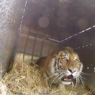 Three Rare Siberian Tigers Released into the Wild: VIDEO