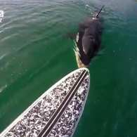 New Zealand Paddle Boarder Has Incredible Close Encounter with Orca: VIDEO