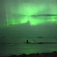 Northern Lights whales