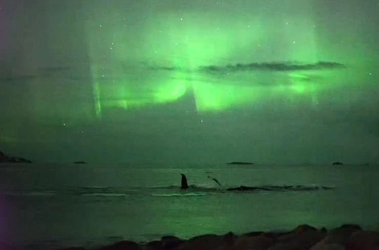 whales bask under the northern lights