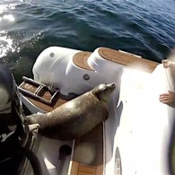 Lucky Seal Makes Incredible Last Second Escape from Pod of Orcas: WATCH