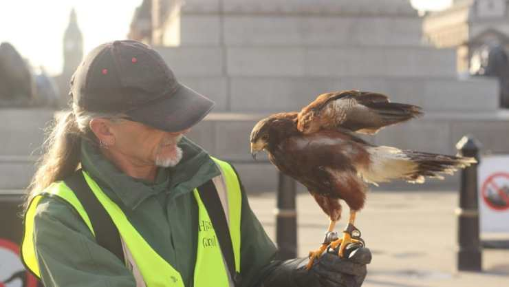 Handler Paul Picknell and the Harris's hawk, Lemmy, in London's Trafalgar Square. Lemmy's job is not to hunt pigeons, but to deter them. Credit: Leo Hornak