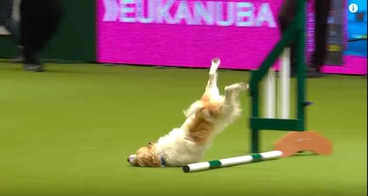 Jack Russell Terrier Dog Show Fail