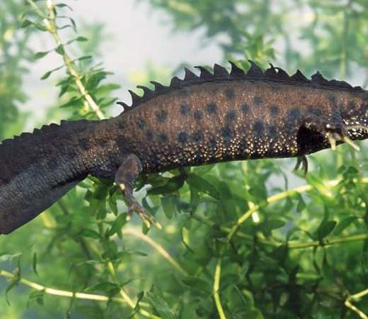 Male of Great Crested Newt (Triturus cristatus). His skin's color and crest is typical for breeding time.
