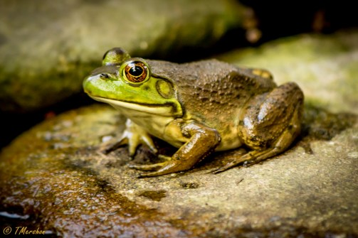 American Bull Frog