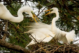 Tussle in the Rookery