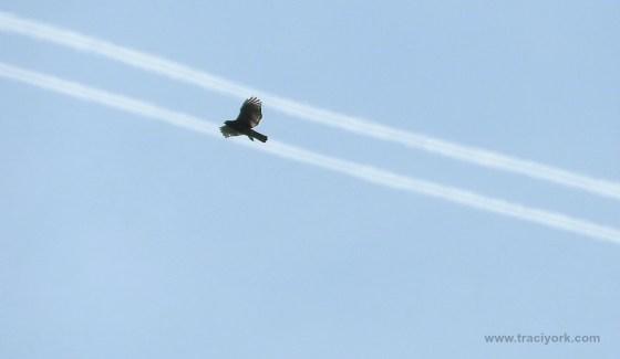 Hawk riding the contrails