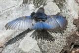 Bluebird putting on a show