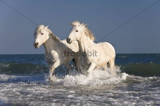 3d Animated Wallpapers And Screensavers Full Version Free Download Camargue Horses Running Through Ocean Water On The Beach
