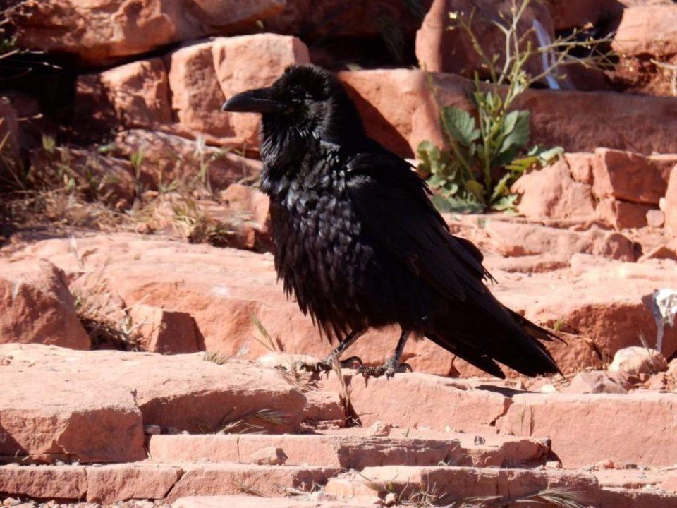 Raven, like a Boss!