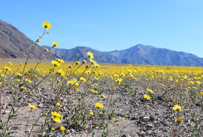Super Bloom Super Awesome In Death Valley The