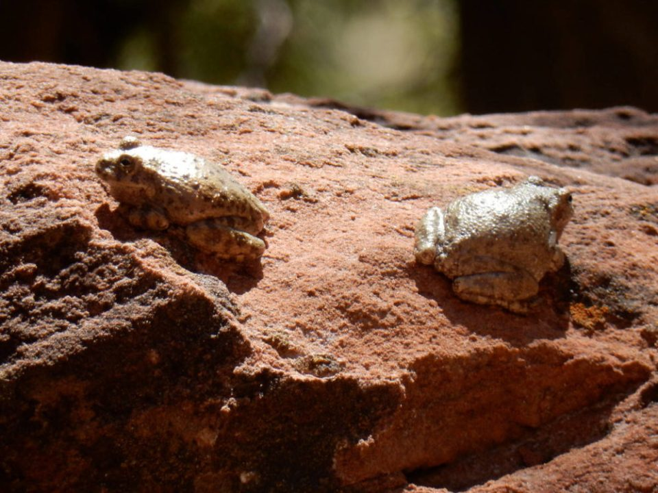 Zion Canyon Tree Frogs