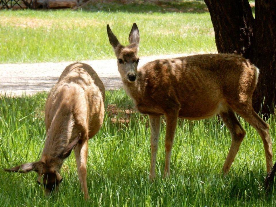 Mule deer on their lunch break