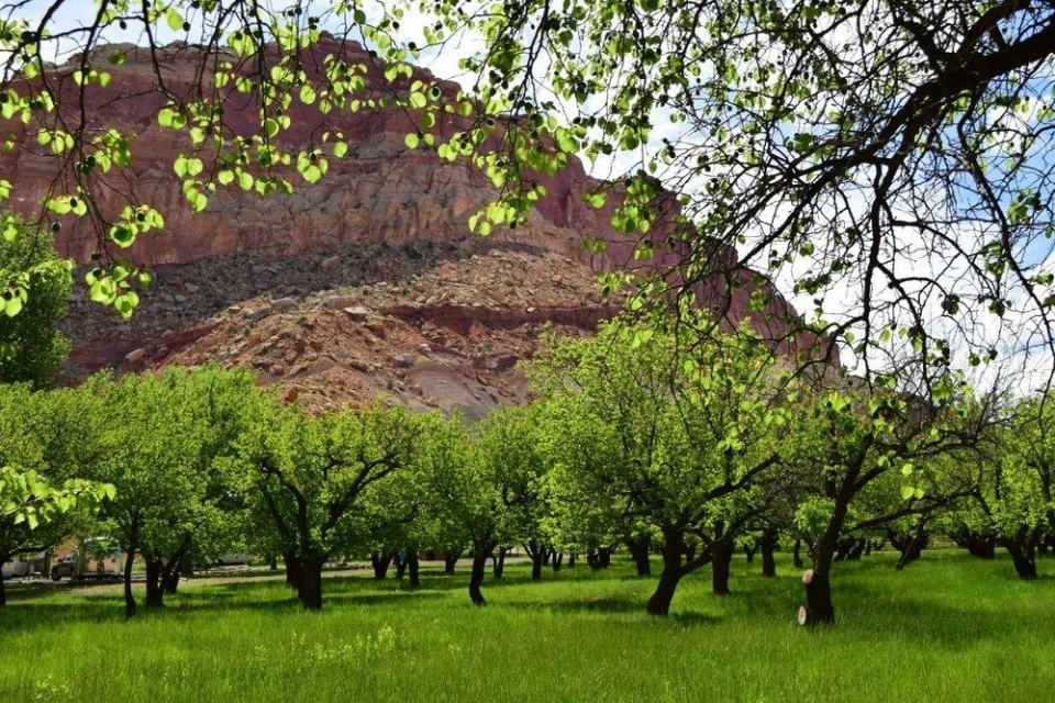 Orchards along the Fremont River Trail