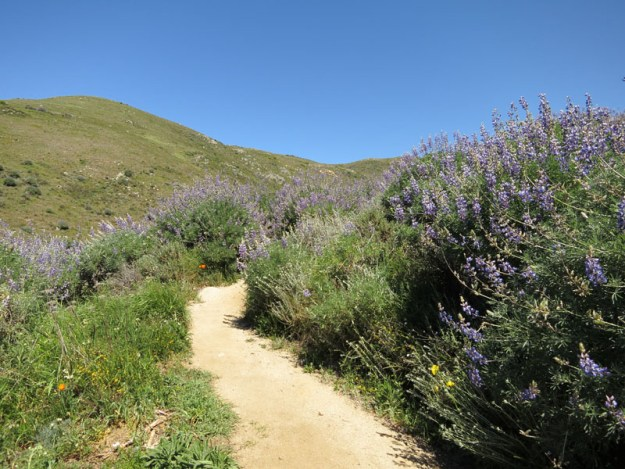 The trail flanked by lupine bushes