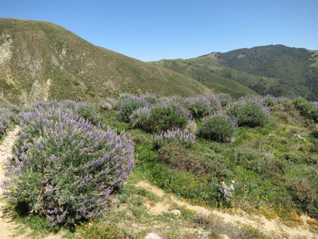 Lupine on the hills