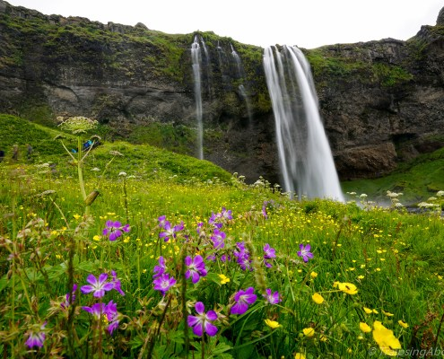 Lovely Seljalandsfoss drops 180 feet. Wildflowers are firing this time of year!