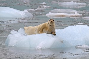 young-bearded-seal-at-esmark-glacier-svalbard-norway