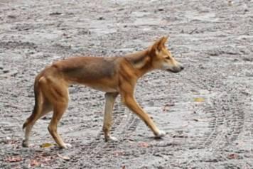 The dreaded Fraser dingo