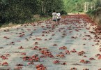 red-crab-migration-1[2]