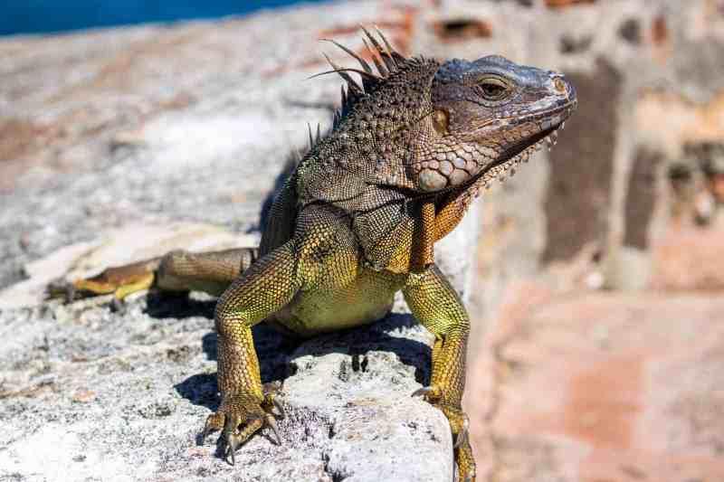 Iguana, Puerto Rico