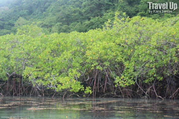 mangrove forest trees culion