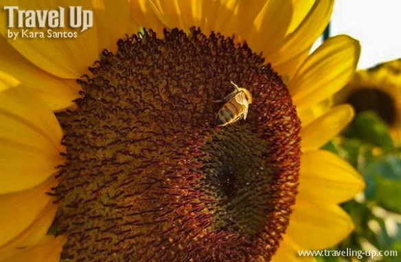 bee on sunflower at UP Diliman