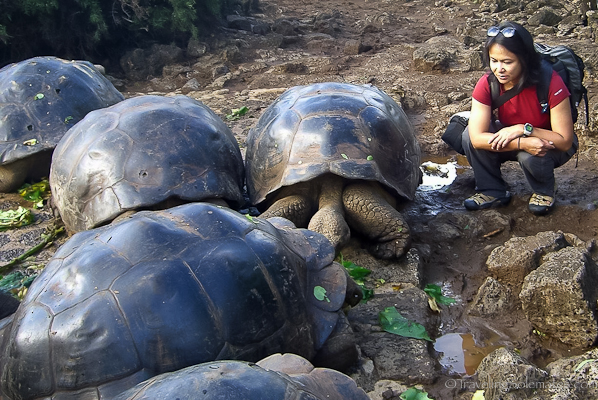 Giant tortoises Charles Darwin Research Center in Galapagos islands