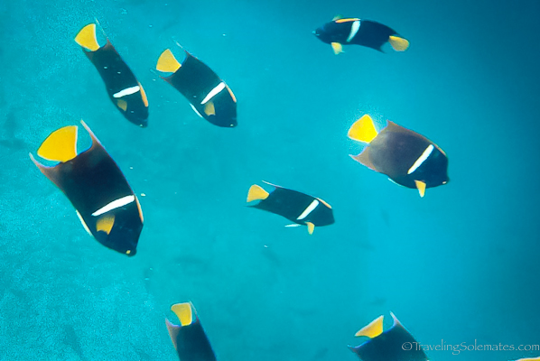 Parrot fish in Galapagos Islands