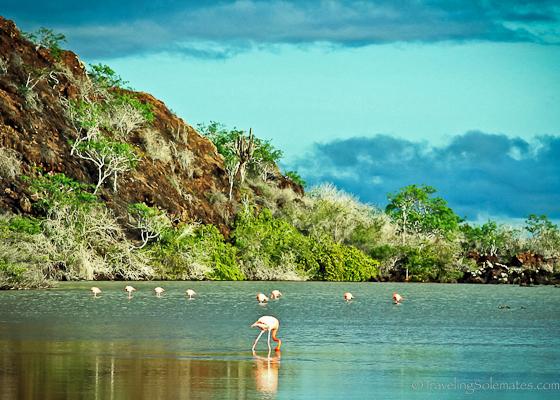 Flamingo colony in Galapagos Islands