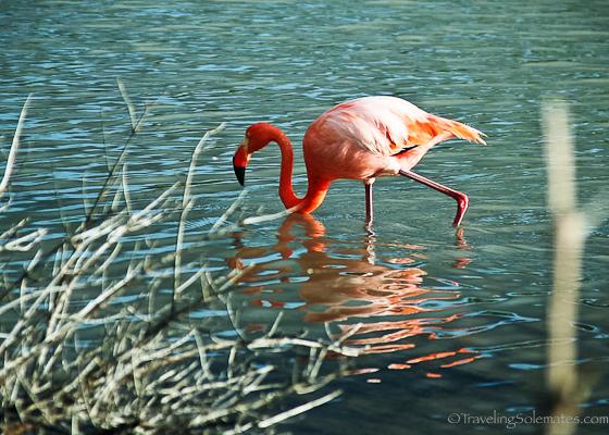 Pink flamingo in Galapagos Islands