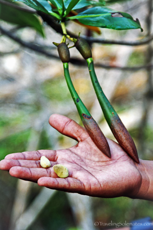 Mangrove seeds and pods in Galapagos islands