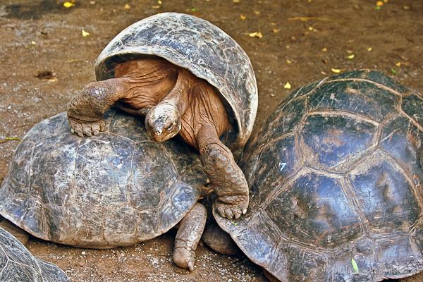 Tortoise in Galapagos islands