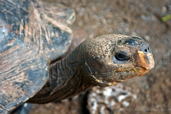 Face of giant tortoise in Galapagos islands
