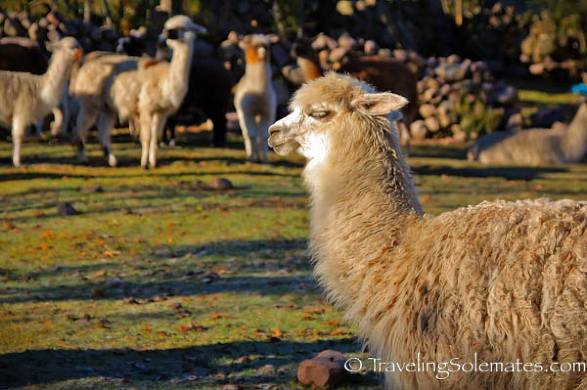 Alapaca on Lares Valley Trek Peru