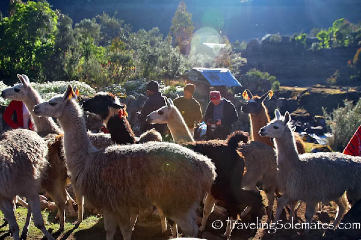 Indigenous animals on Lares Valley Trek Peru