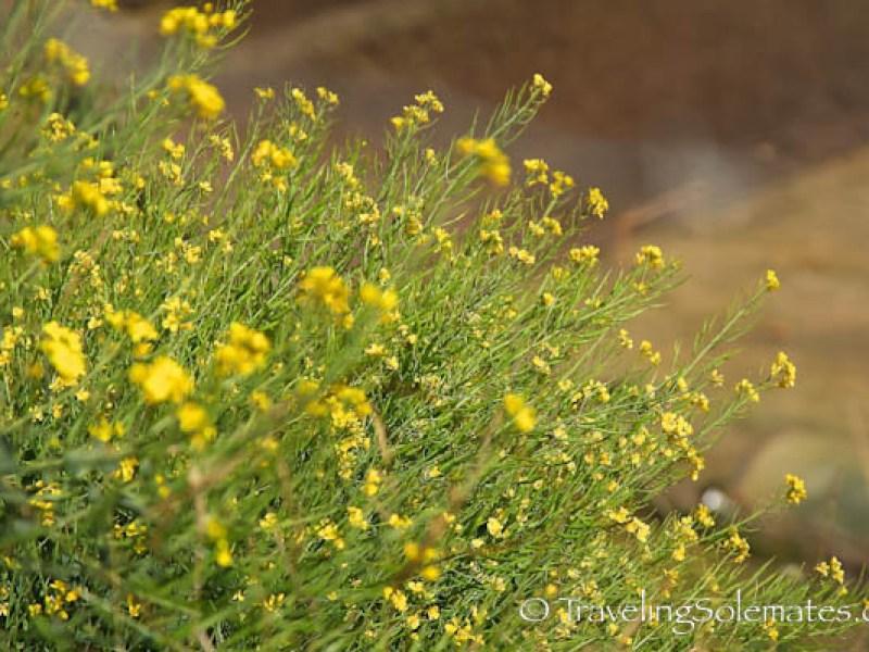 Wild yellow flowers on Lares Valley Trek Peru