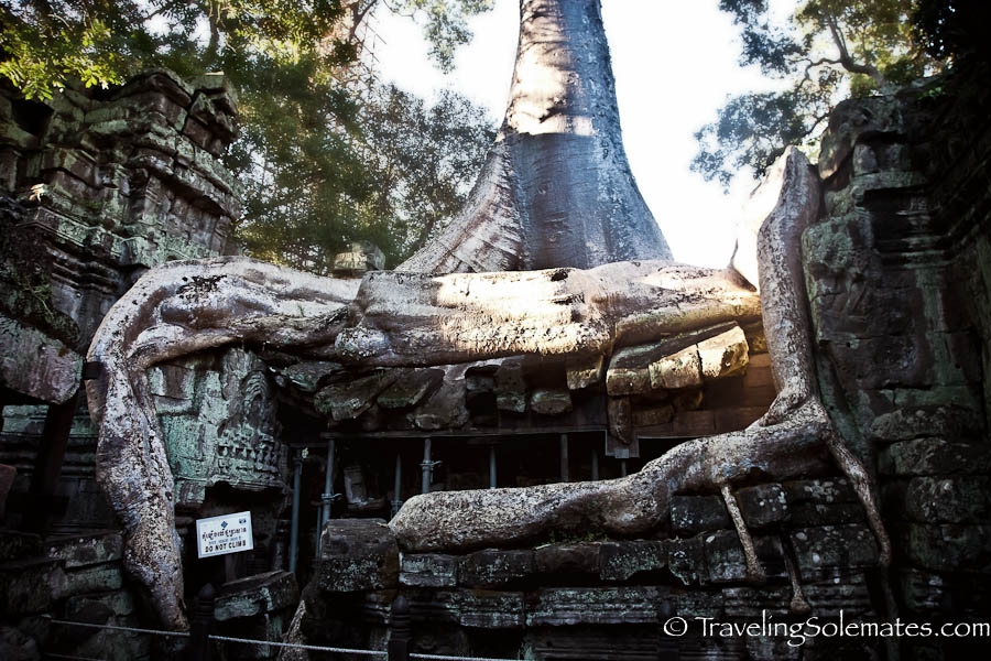 Giant Tree Roots in Ta Phrom Temple, Angkor, Cambodia