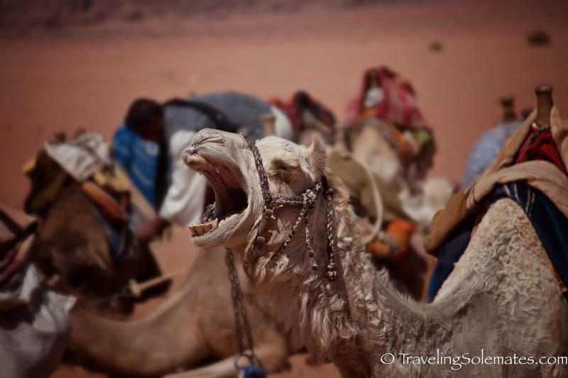 Yawning Camel, Wadi Rum, Jordan