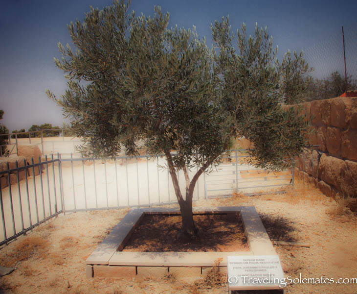 Olive Tree planted by Pope Paul II in Mt. Nebo, Jordan