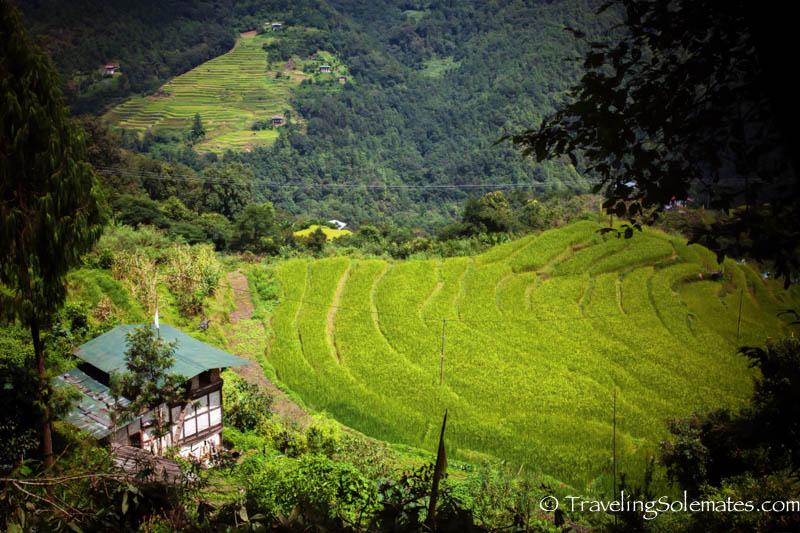 Rice Paddies, Punakha Valley, Bhutan