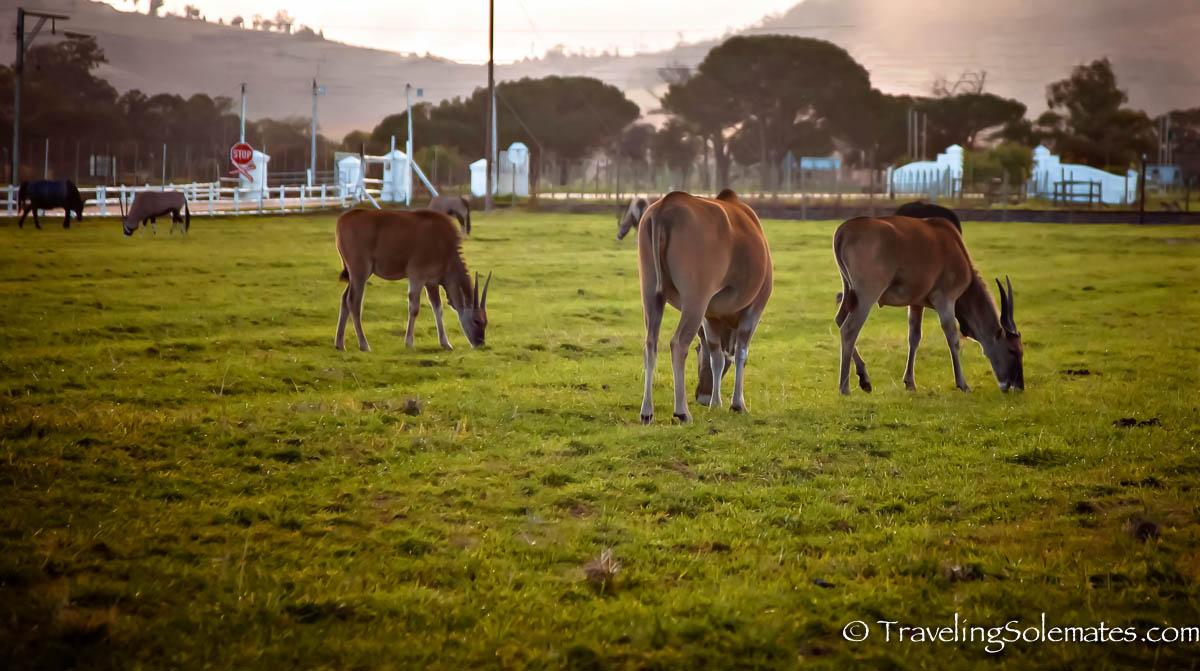 Animals in Stellenbosch Winery, South Africa