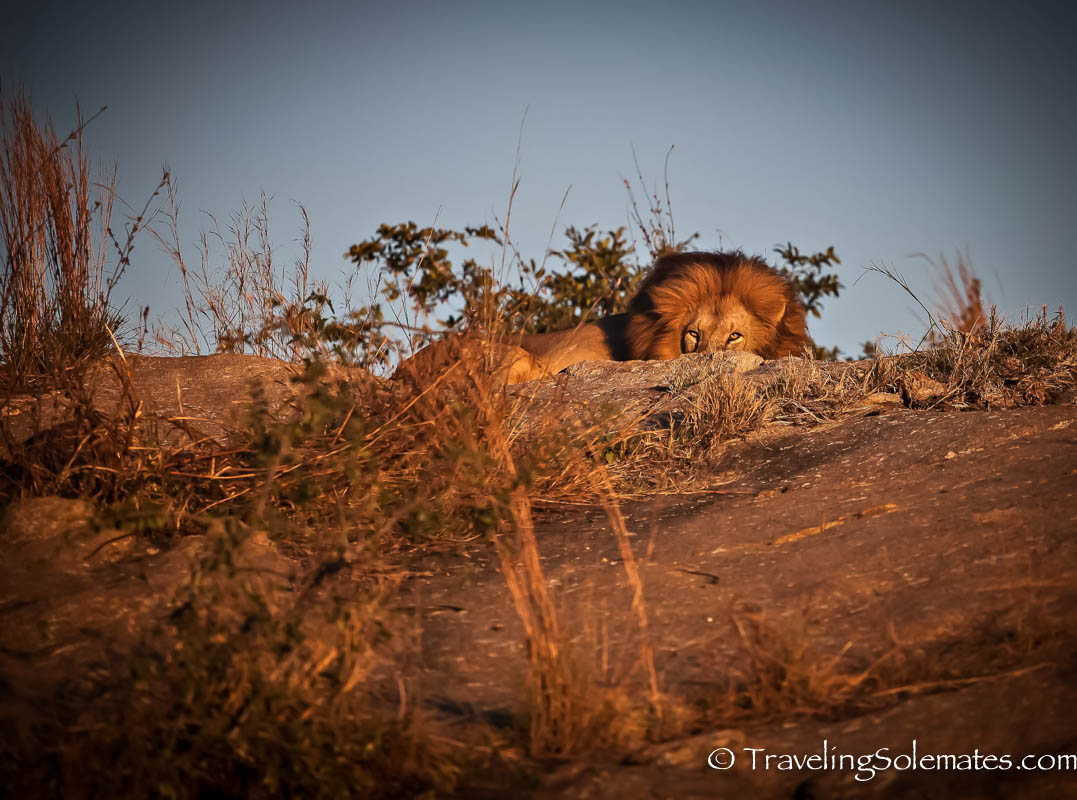 A Lion on Safari in Kruger National Park, South Africa