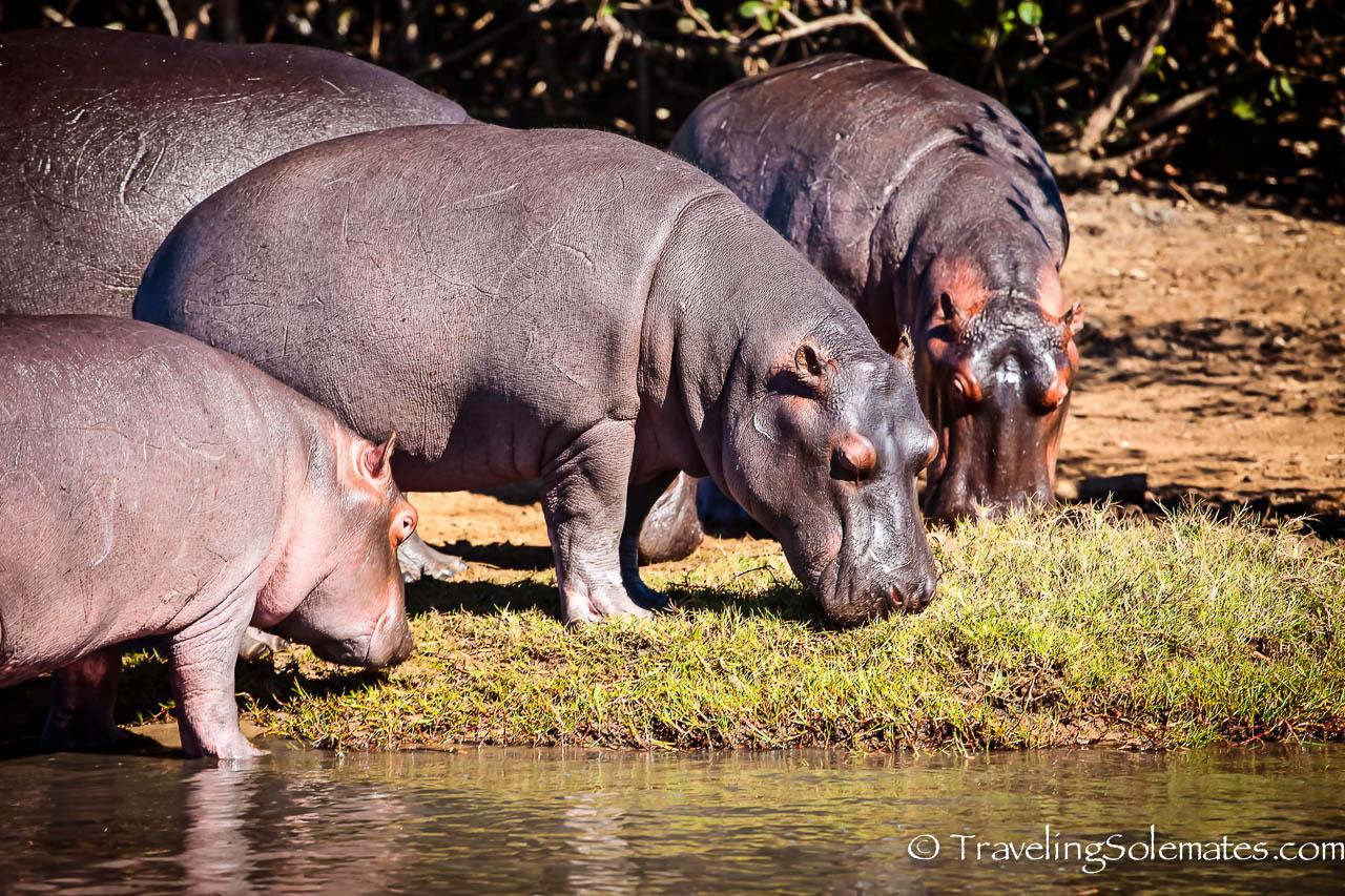 Hippos, St. Lucia Estuary, South Africa