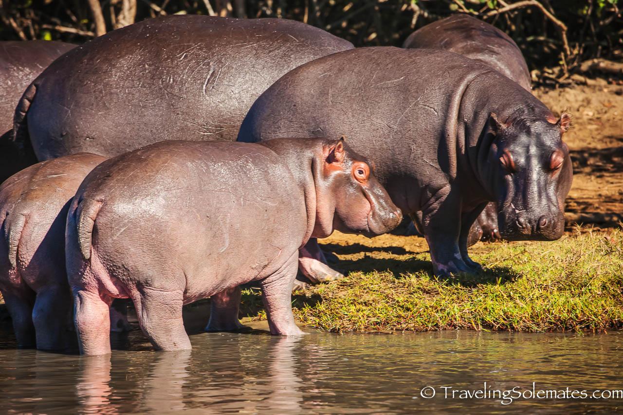 Hippos, St. Lucia, Estuary South