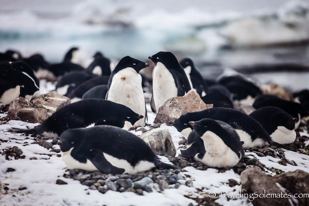 Adelie Penguins in Brown Bluff, Antartica, National Geographic Explorer, Lindblad Expeditions
