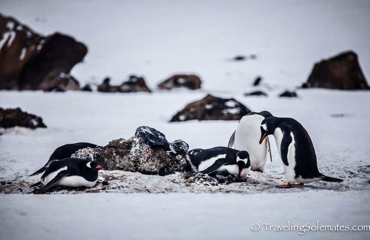 Gentoo Penguins in Brown Bluff, Antartica, National Geographic Explorer, Lindblad Expeditions